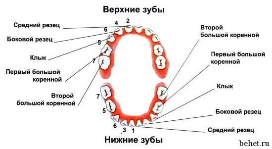 норме должно быть 8 зубов,